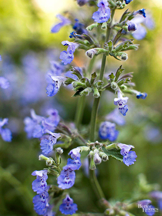 Nepeta is a gorgeous hardy perennial. Known as catmint, it has a dusty purple flower and does well in partial shade to full sun. Works well with so many others that are similarly low maintenance, like achillea, liatris, coreopsis, salvia and rudibeckia.  View Product Website
