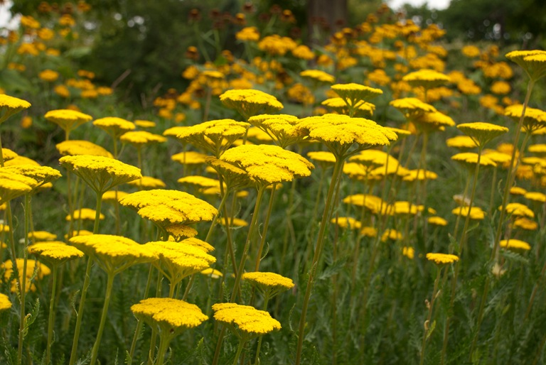 Achillea filipendulina 'Coronation Gold', or commonly known as 'Yarrow'