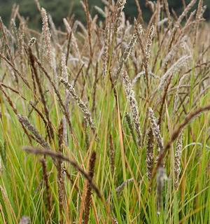 Seslaria or Autumn Moor Grass is a hearty, and beautiful grass that has a rugged and naturalistic look. Looks fantastic in a window box, and is tolerant of a variety of light and water conditions.