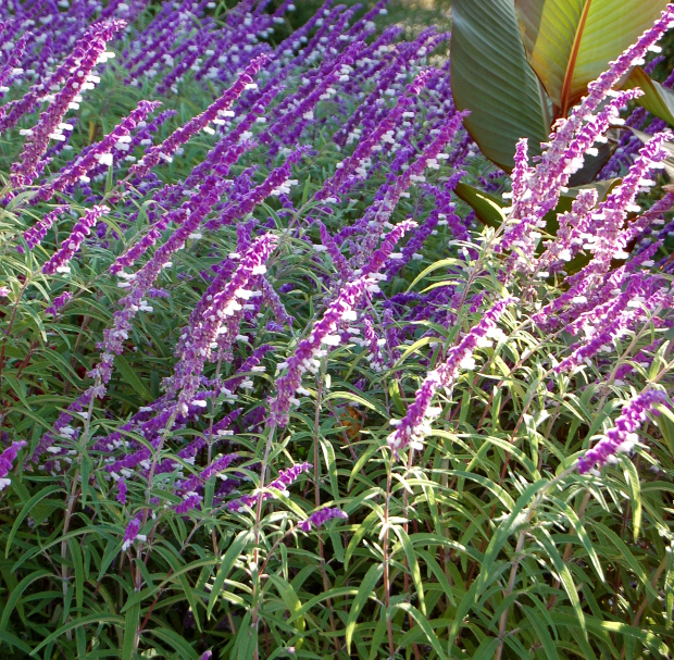 Salvia is also a really vibrant, lovely addition to a window box. Beautiful summer-bloomer and likes sun.