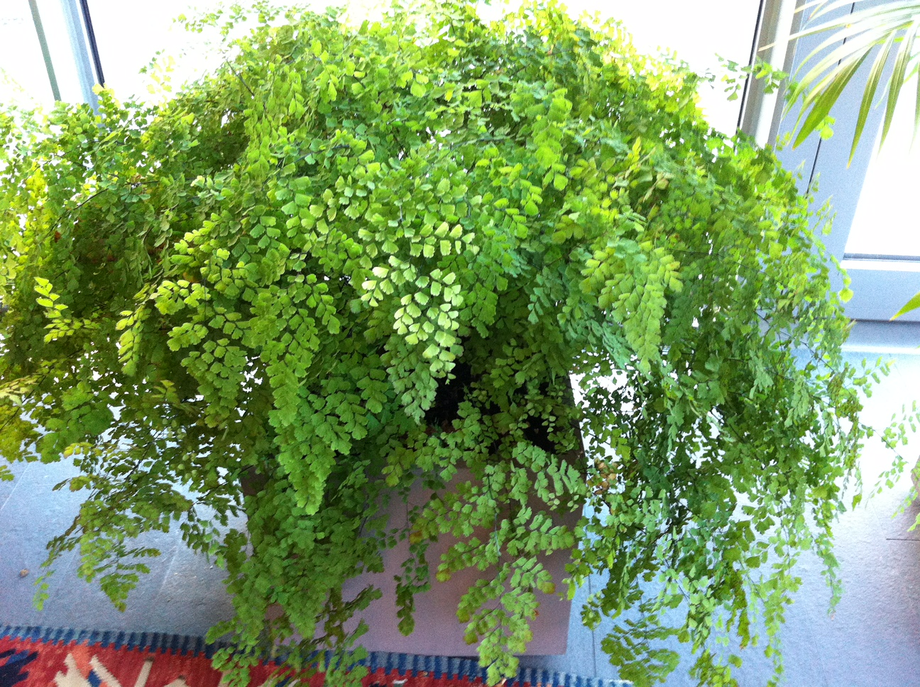 The Maidenhair Fern:  one of the most delicate and lovely of houseplants. Loves shade, moist, rich and acidic soil. Be careful not to overwater.