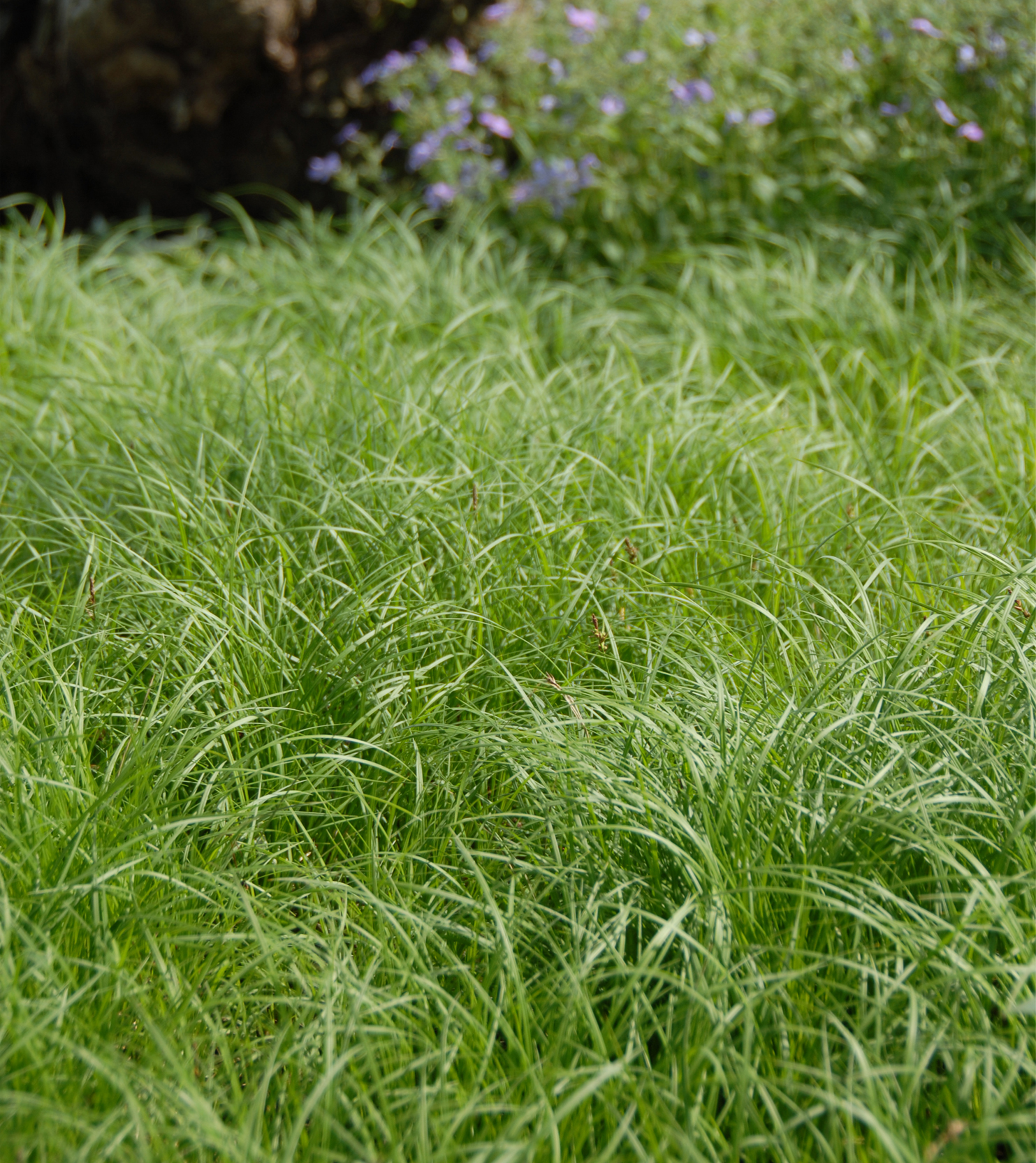A lawn for shade: Carex Pennsylvanica is a a graceful, shade-loving perennial sedge that is a great alternative to lawn grass-- if you don't need to run on it. It doesn't even need that much water, and you only need to mow it 2x per year tops.   View Product Website