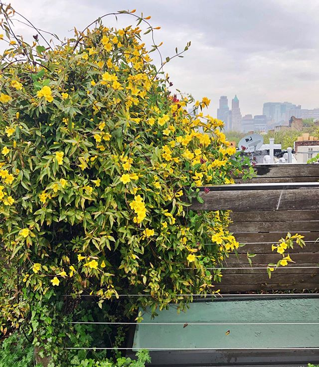 Common Jasmine, not looking so common this week up on the roof