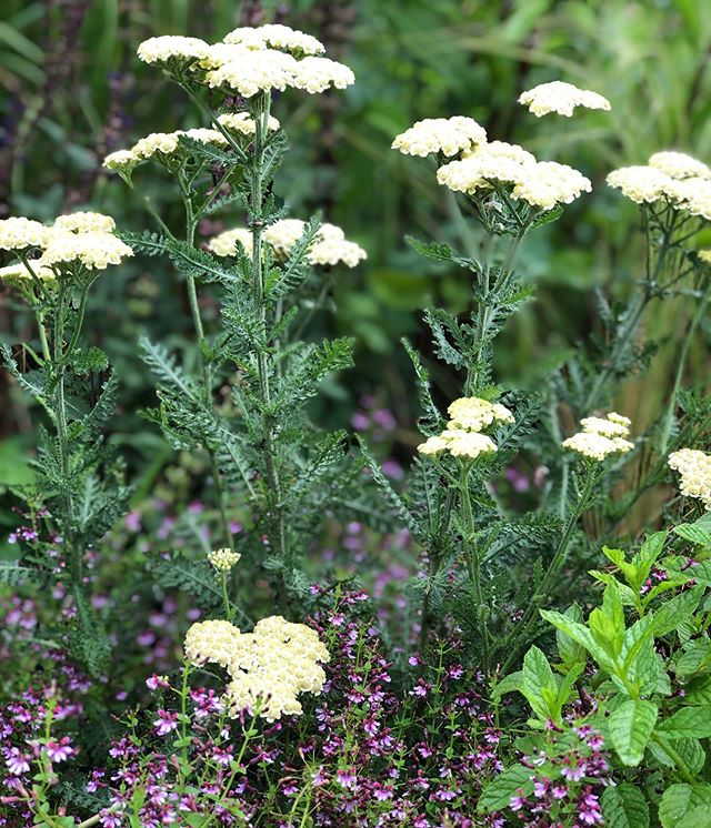 There are 85 species of Achillea, otherwise known as Yarrow, a perennial in the Aster family.  It loves dry open spaces, so it's no surprise it likes rooftops too. It has umbrella-shaped flowers in many colors and dark green fern-like foliage that make the flowers pop. These look beautiful with many types of perennials, particularly Salvia, Nepeta, Monarda and tons of grasses as well.