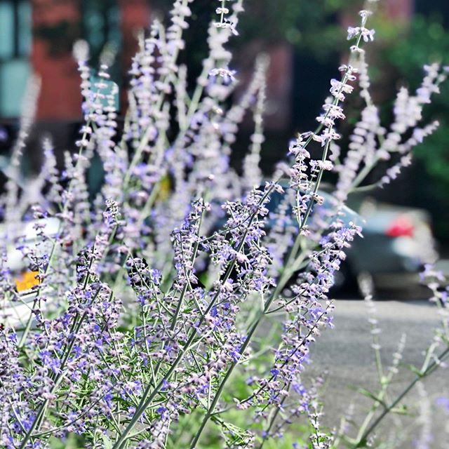 Perovskia, otherwise known as Russian sage looks a bit like lavender, and is a beautiful and subtle dusty purple with spikey flowers against silvery grey leaves. Great for hot, dry summer weather, and looks beautiful when paired with plants like Echinacea, Yarrow, Coreopsis, Monarda, and Calamagrostis.