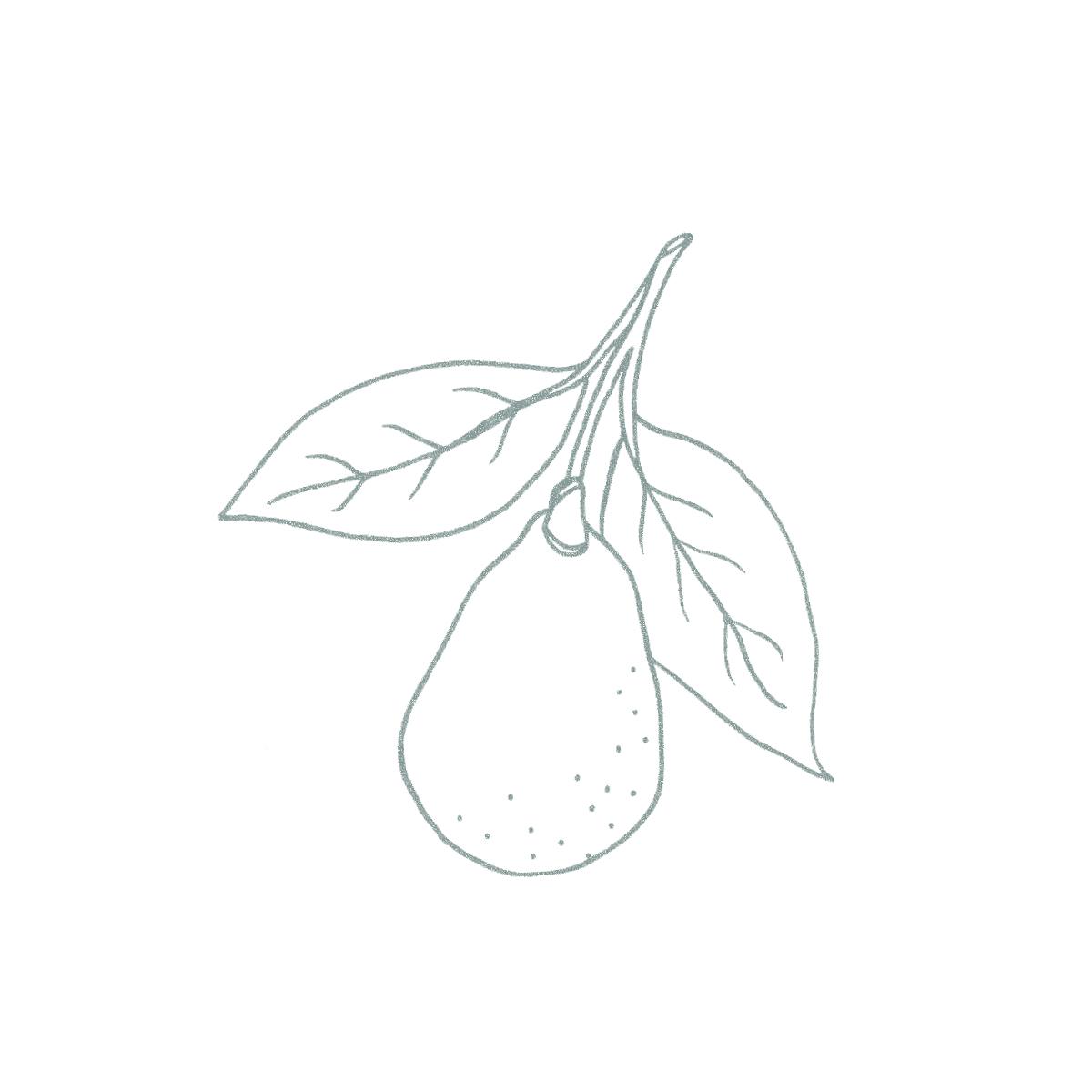 line drawing, illustration of avocado