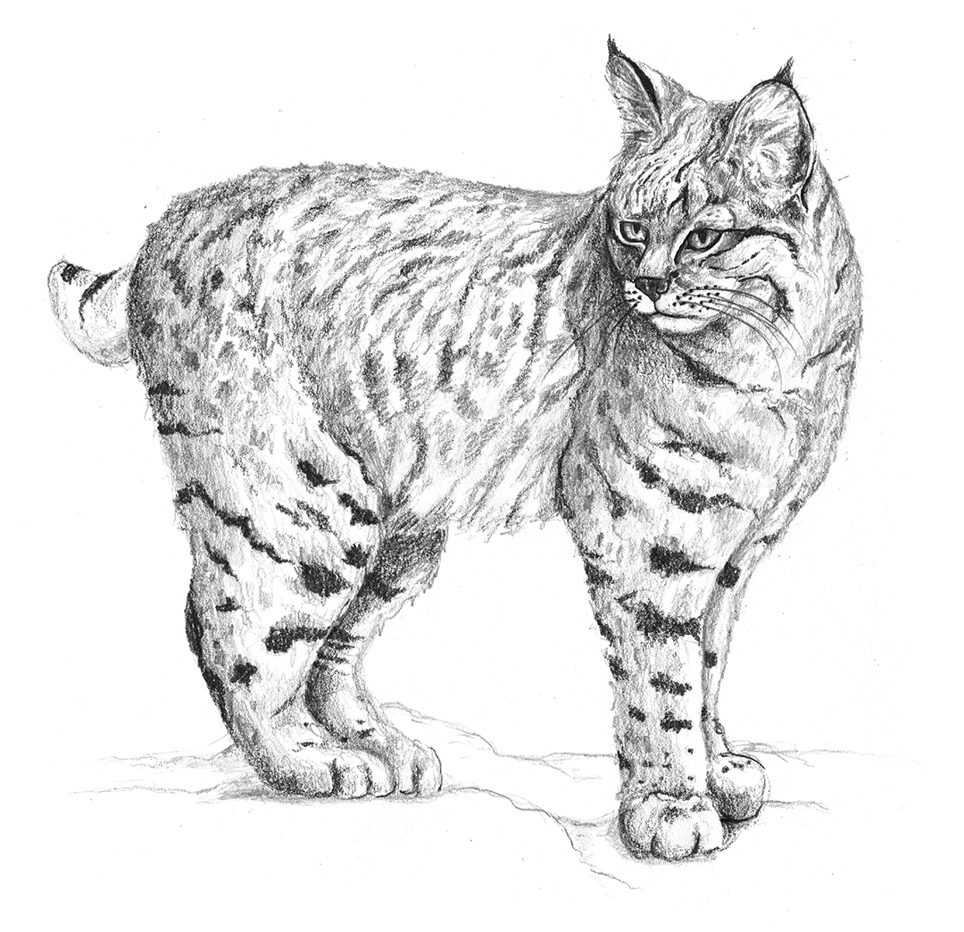 Bobcat by LK Weiss