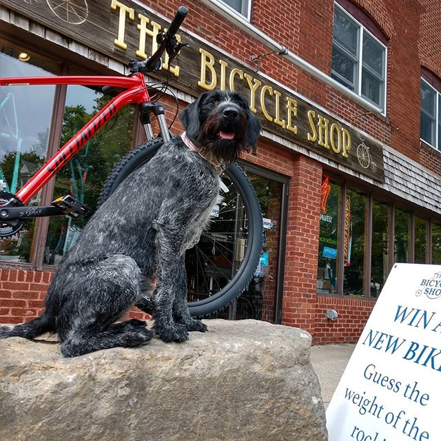 """Jutta says, """"Welcome back students! """"Come to the shop and take a guess on the weight of this big rock.  Closest guess wins the pretty red bike next to me."""" . . @pennstate  @iamspecialized  @statecollegepa  #psu #pennstate #pennsylvaniastateuniversity #college #oldmain #happyvalley #movein #newbike #mtb #mountainbikes #bicycle #bike #shopdog #shopdogs #psupets #puppiesofpennstate #jutta  @psupets  @puppiesofpennstate  #rockhopper #rock #welcomeback #statecollege"""