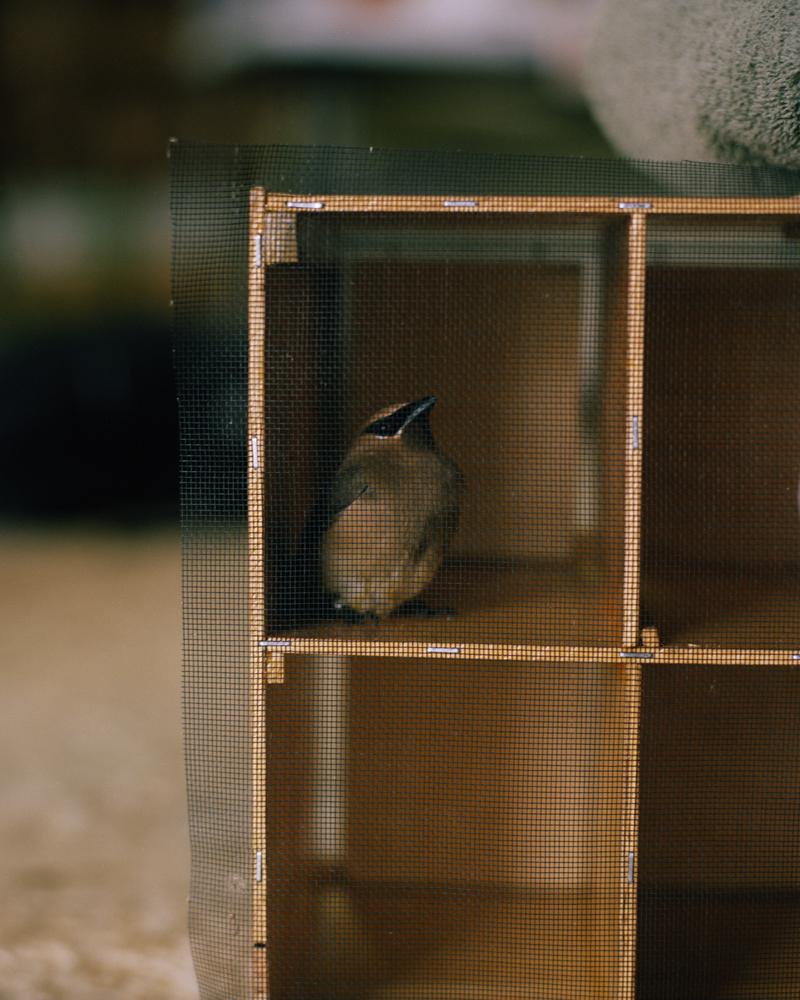Bird Hotel with Cedar Waxwing