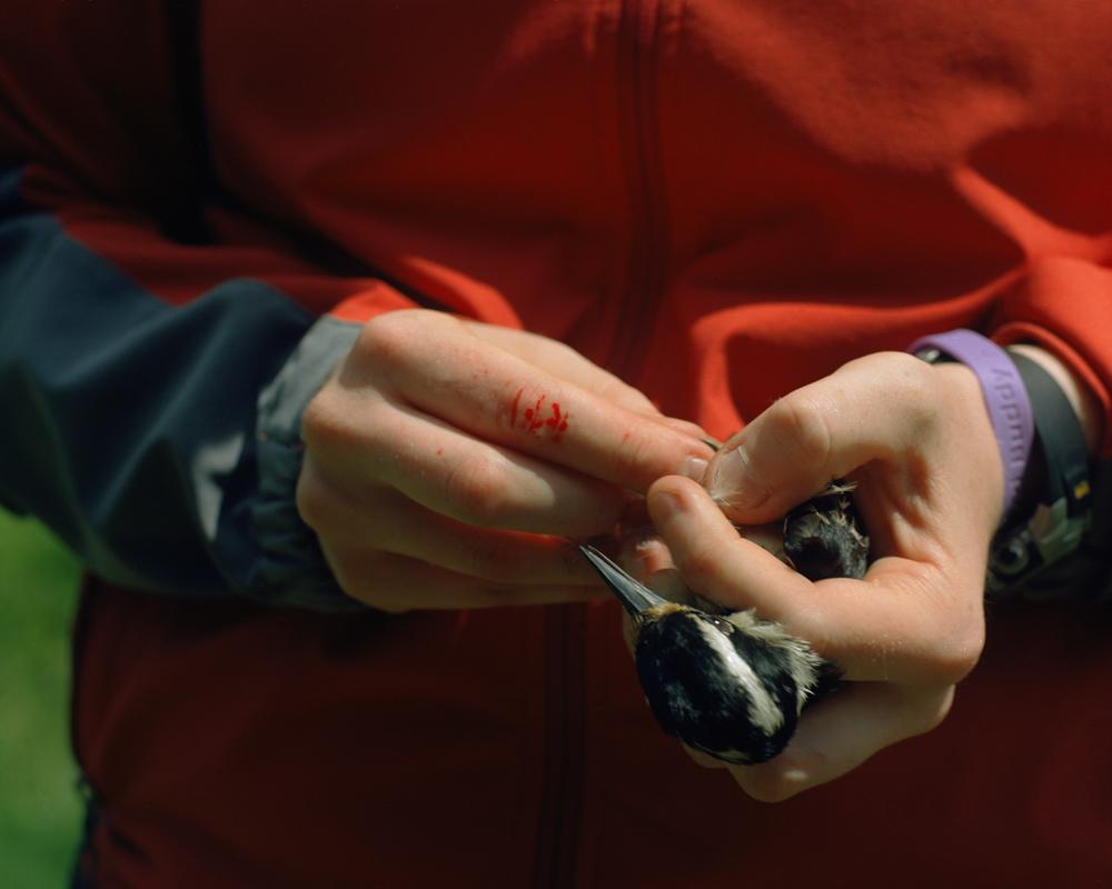 Hairy Woodpecker vs Hand