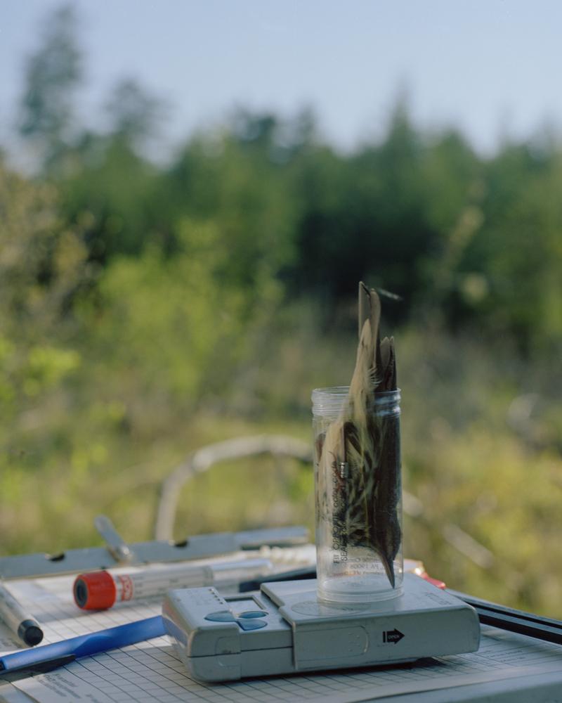 Weighing Northern Waterthrush