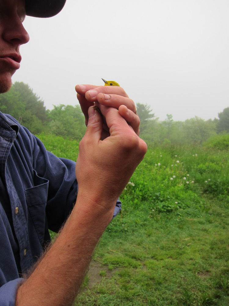 Yellow Warbler with Patrick