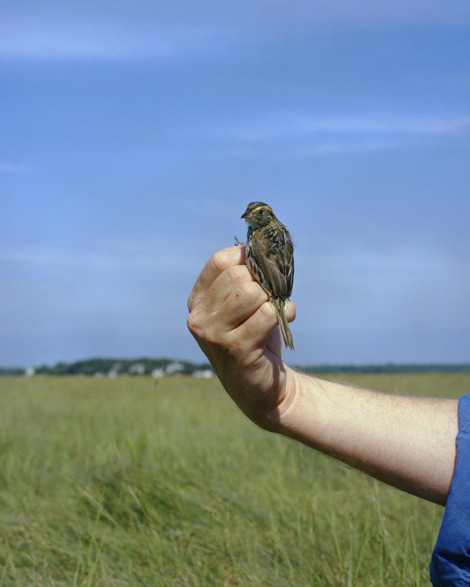 Salt Marsh Sparrow in Hand
