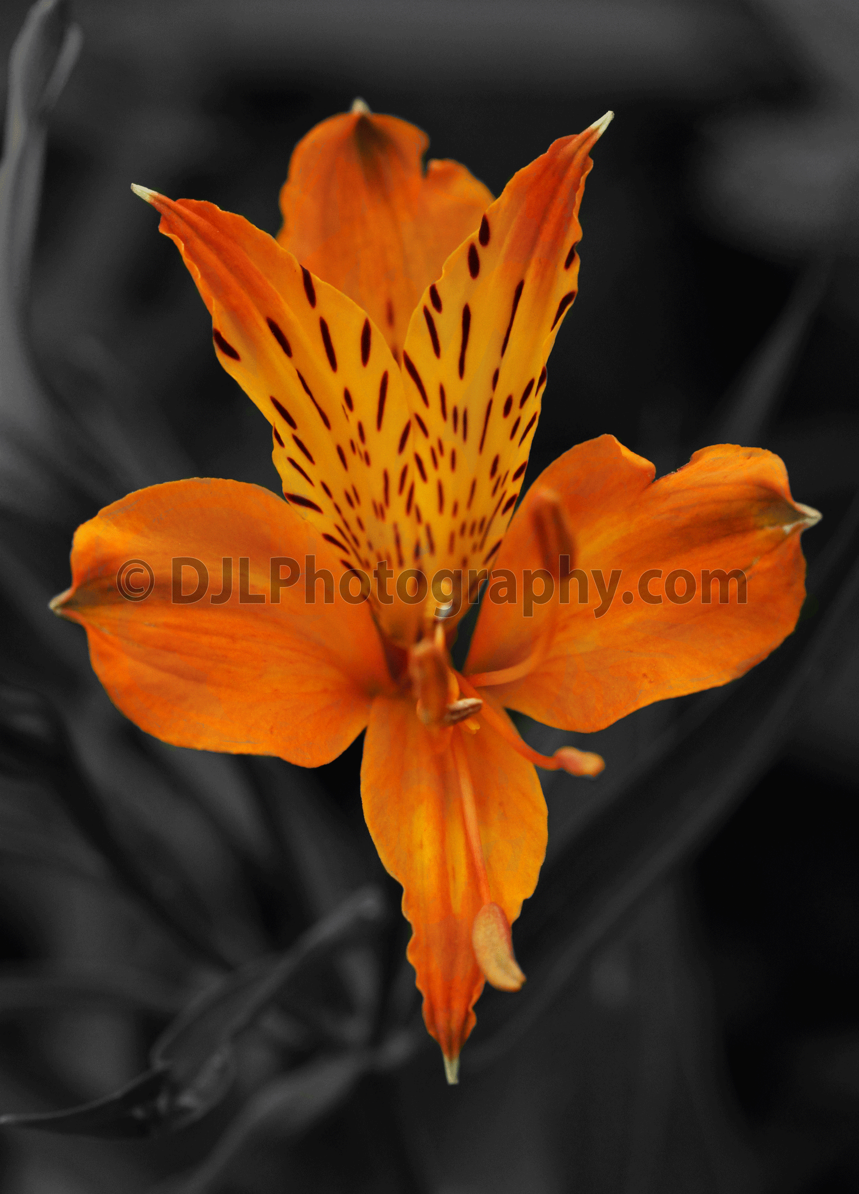 Day Lilly, with a difference!
