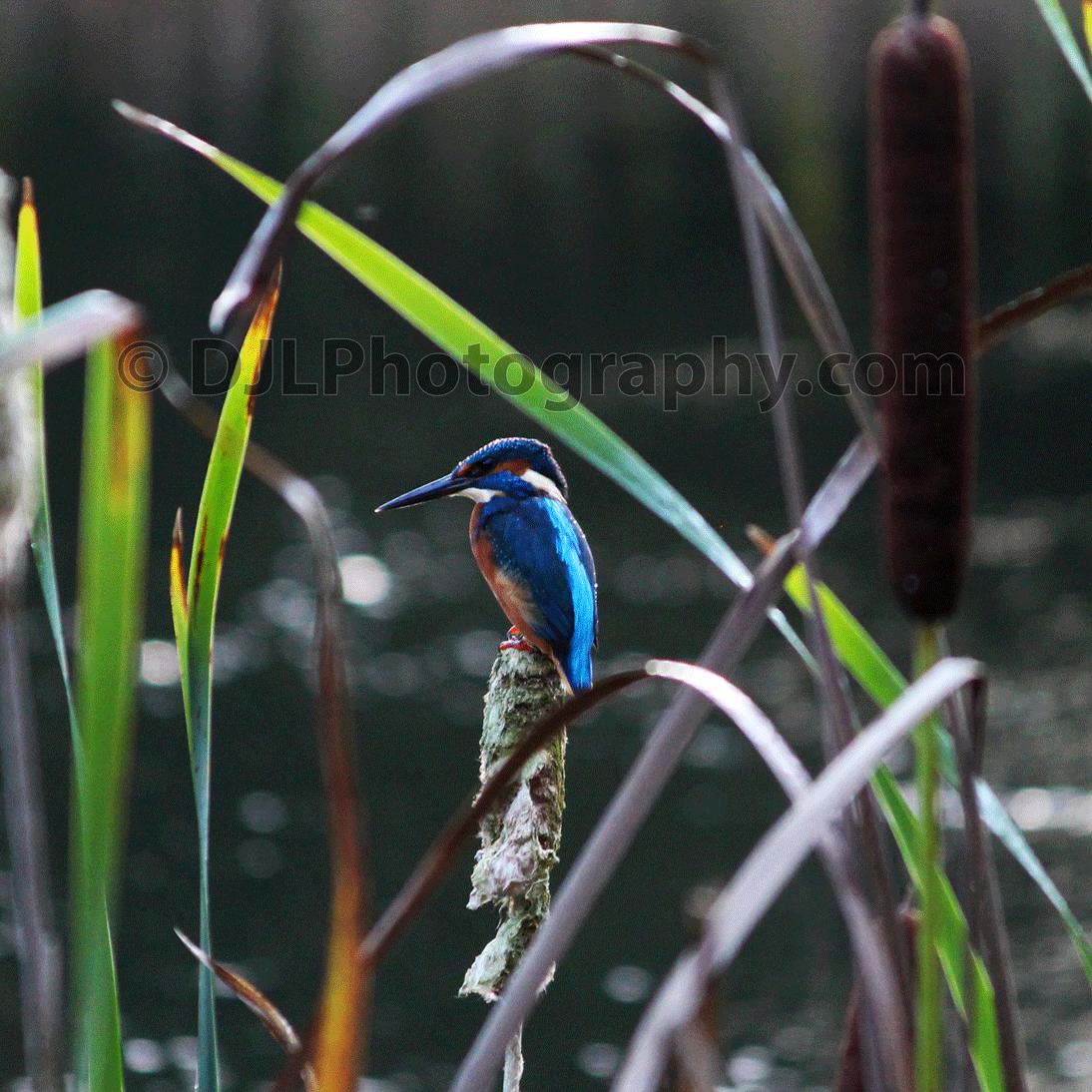 Kingfisher at Dunham