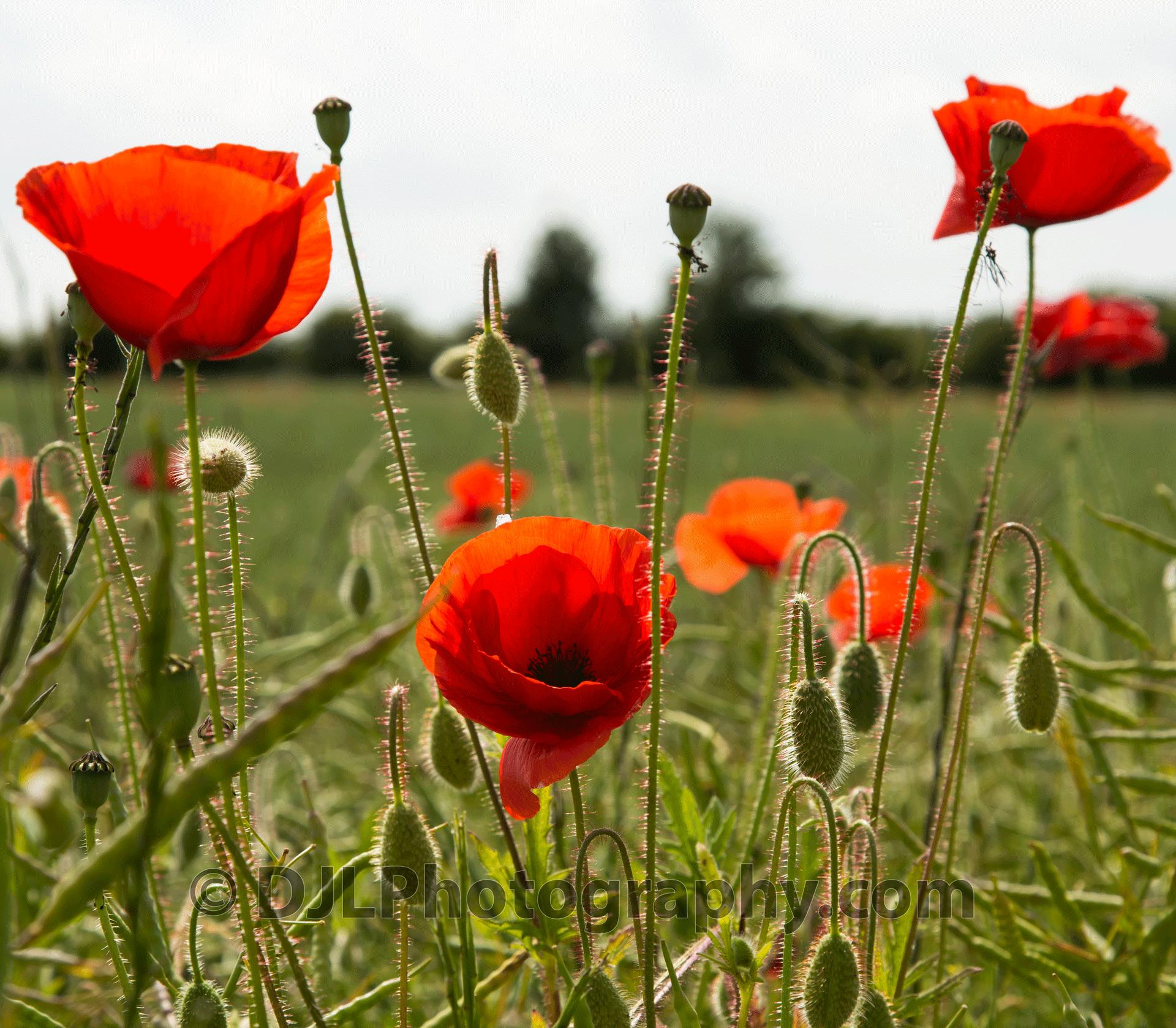 Lincolnshire Show Poppy