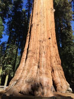 Sherman tree
