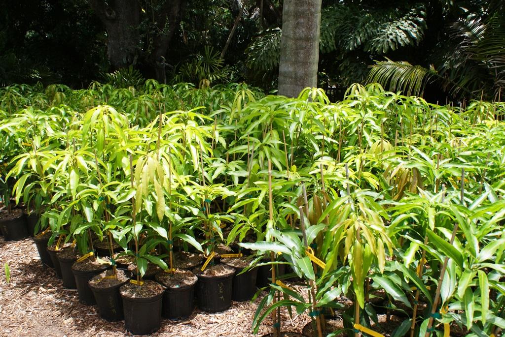 Mango trees for sale.JPG