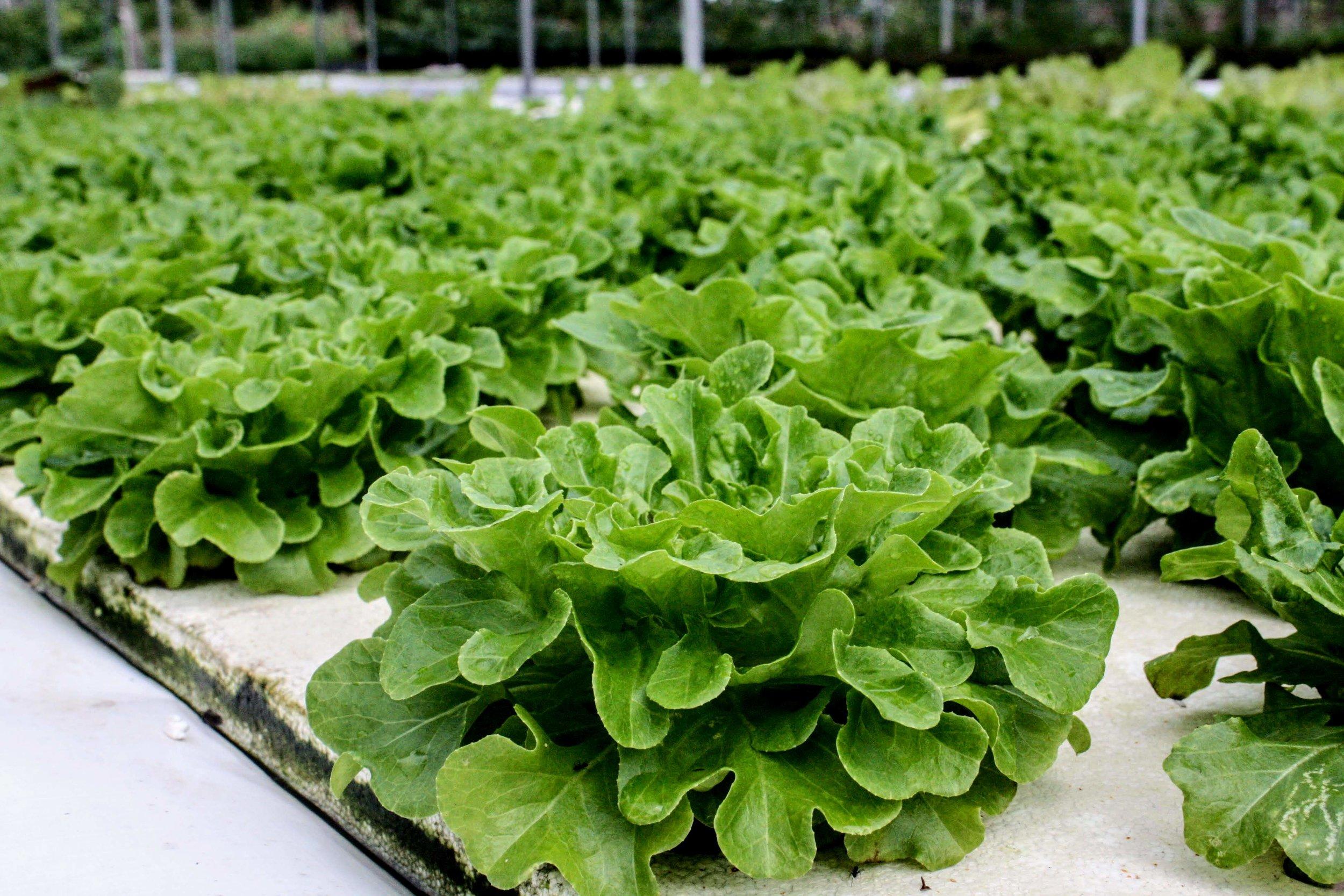 Harpke Family Farms Lettuce