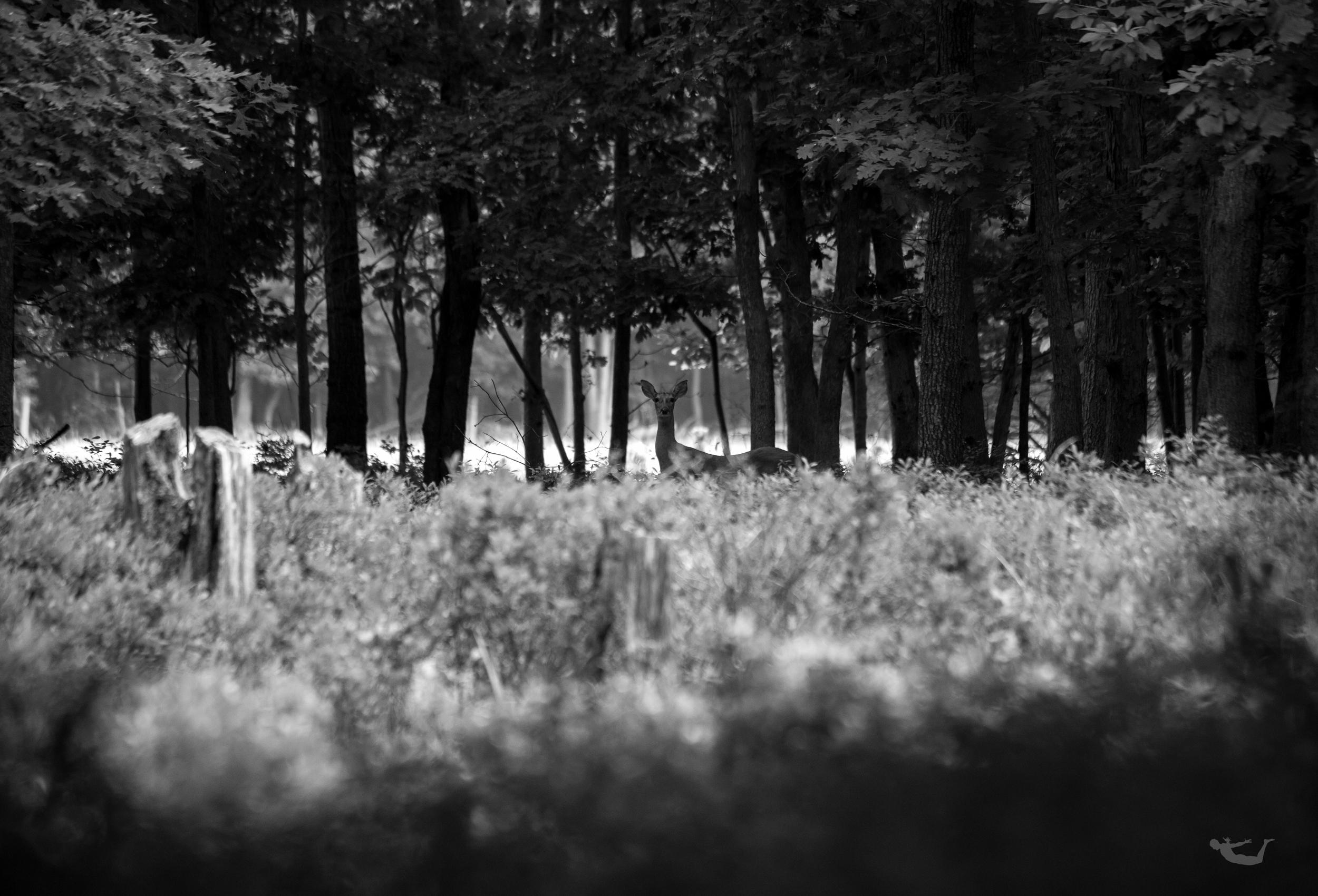 Deer, Doe, The Hamptons