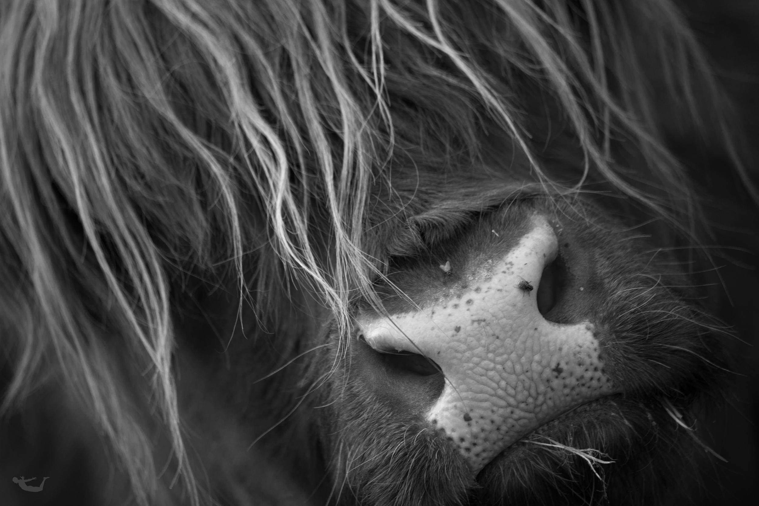 Highland Cattle_.jpg