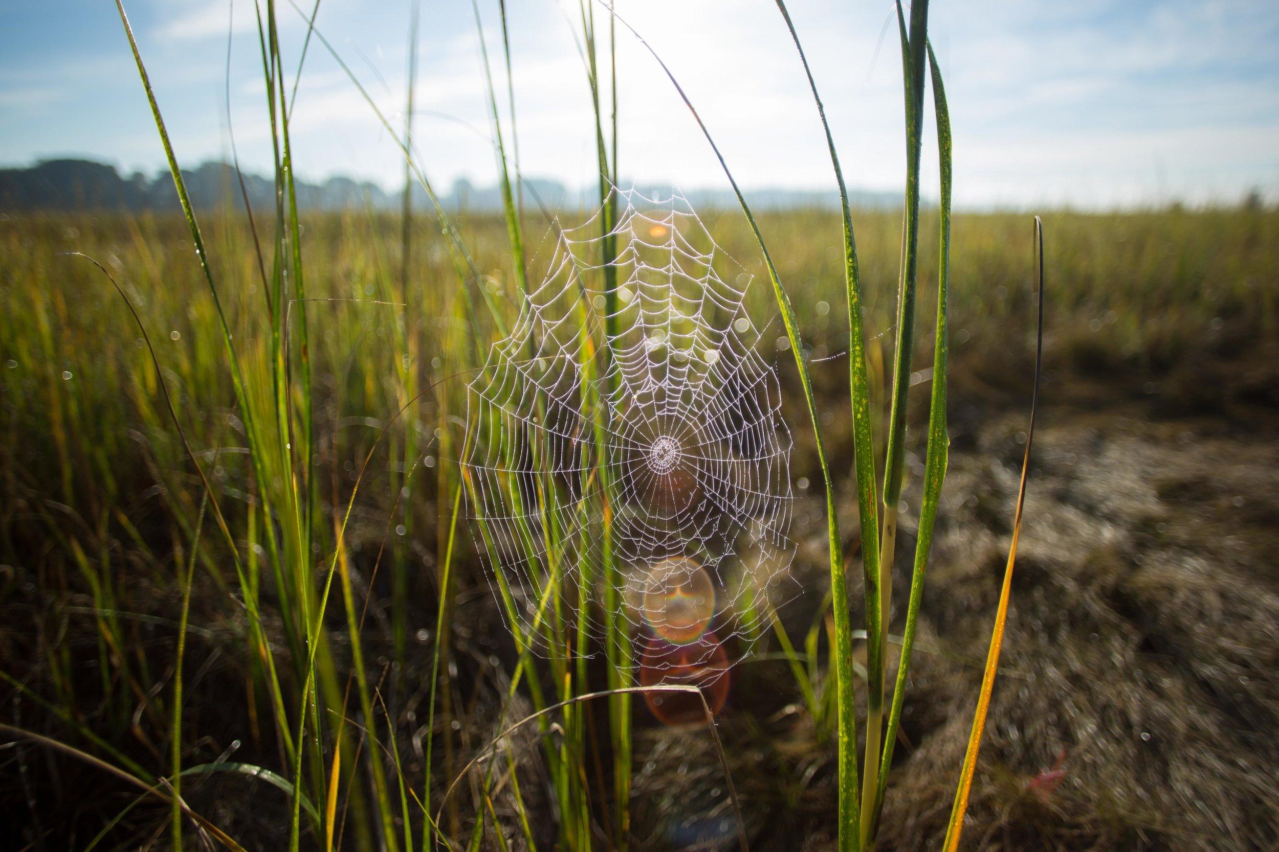 Spiders on the marsh!_.JPG