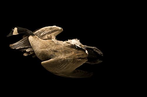 Goose on Black