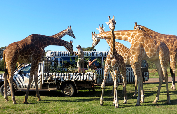 Giraffe being fed, Zoo Revolution, Dream Street Pictures