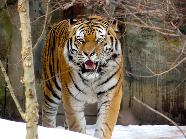 Siberian Tiger, Zoo Revolution, Dream Street Pictures