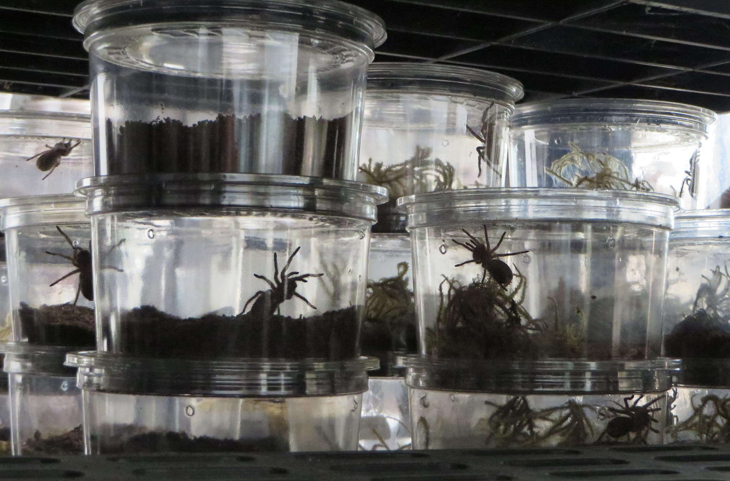 Baby spiders at Tarantula Canada, Montreal Qc.jpg