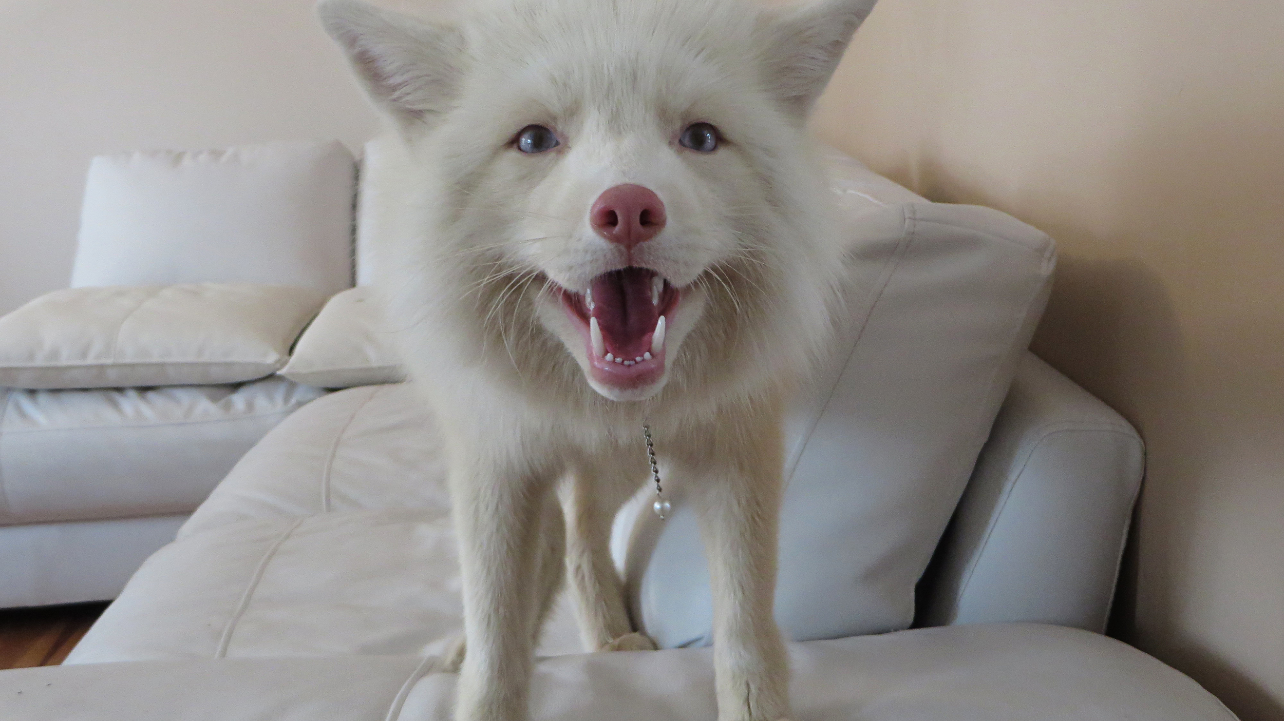 Miko, Anda's fox.jpg