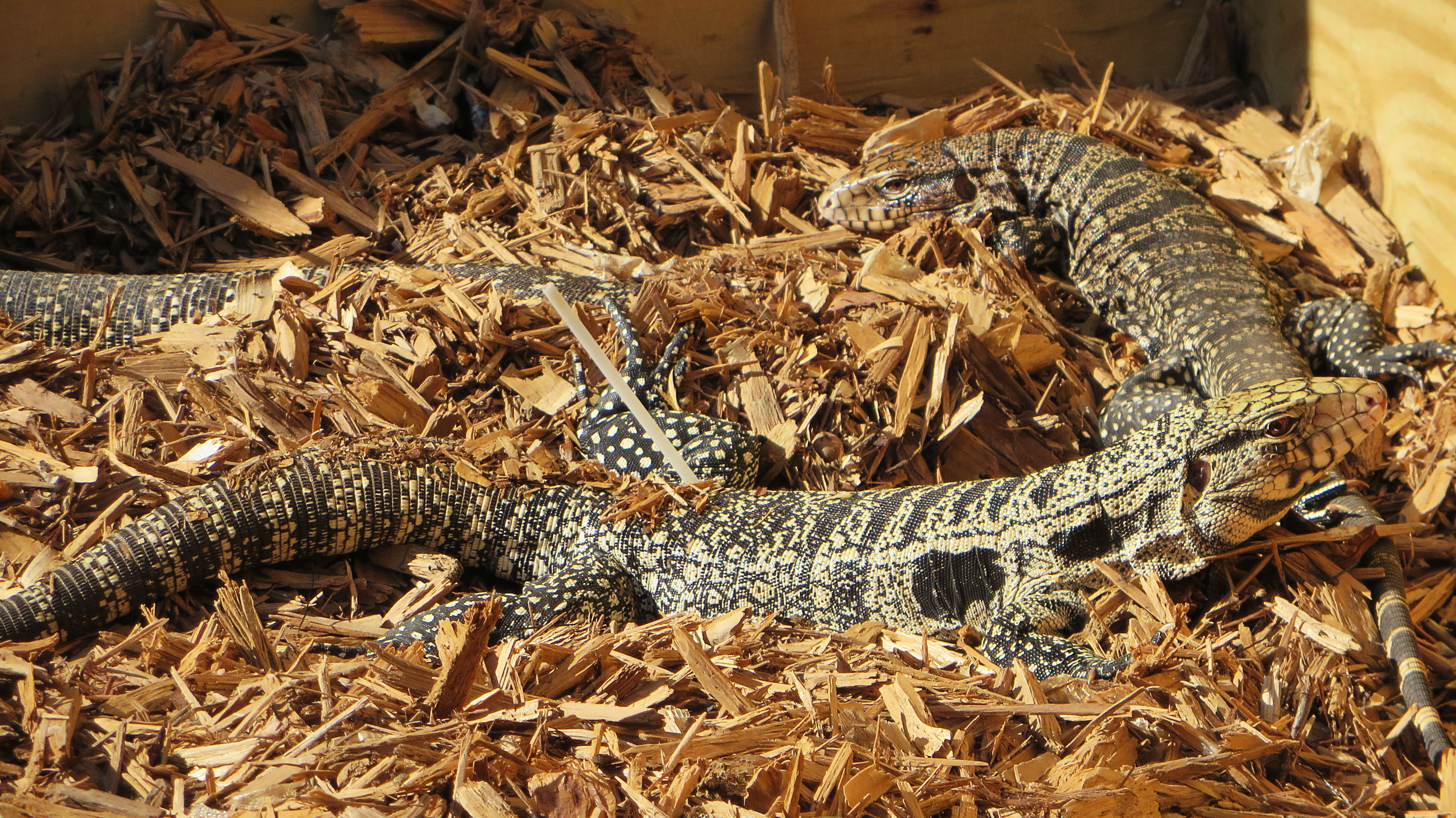 Argentine Black and White Tegu, disowned pets that are now invasive species.jpg