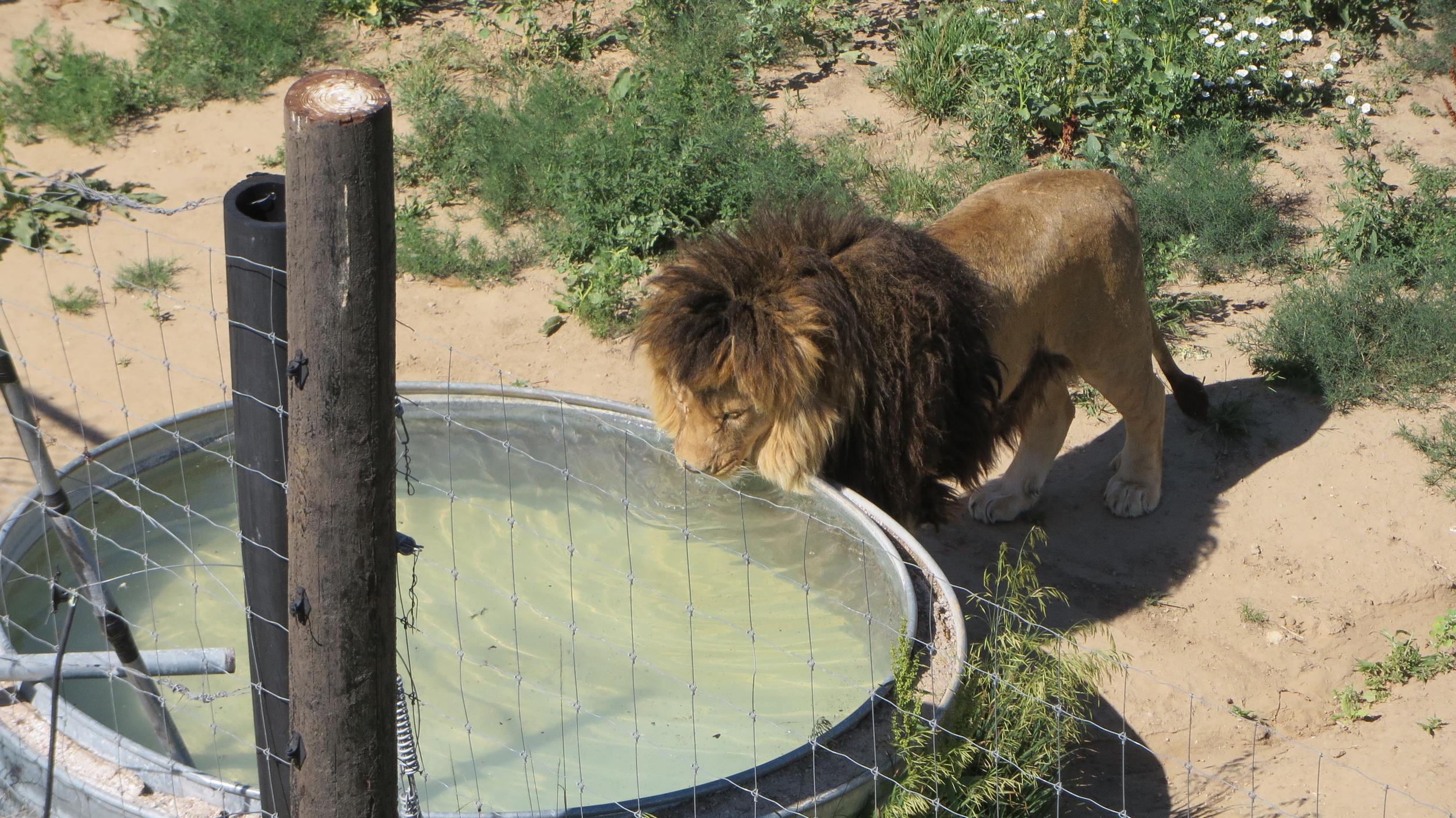 Lion at Wild Animal Sanctuary, Colorado - original.jpg