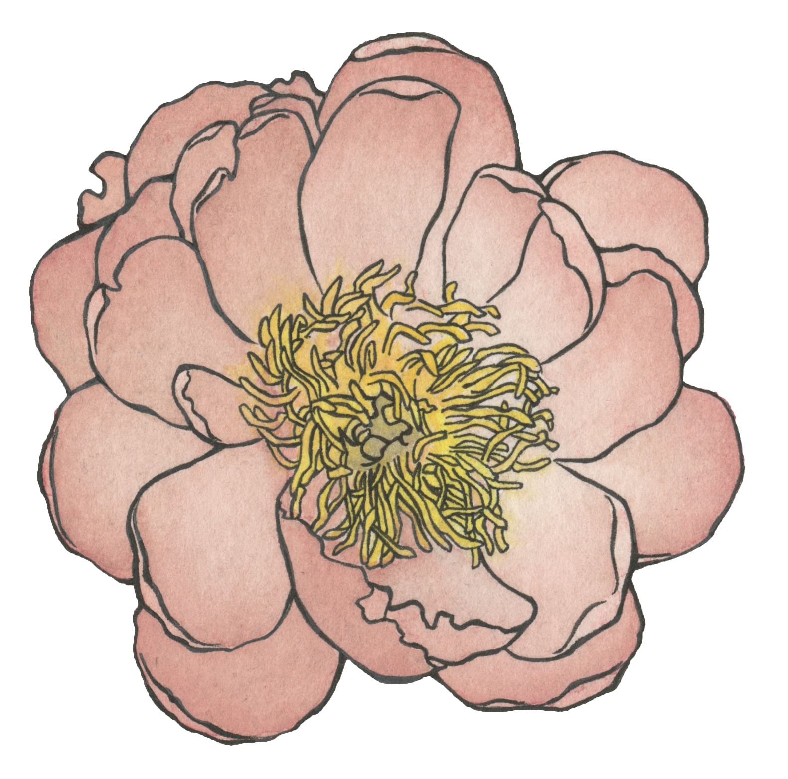 Peony , watercolor and ink.