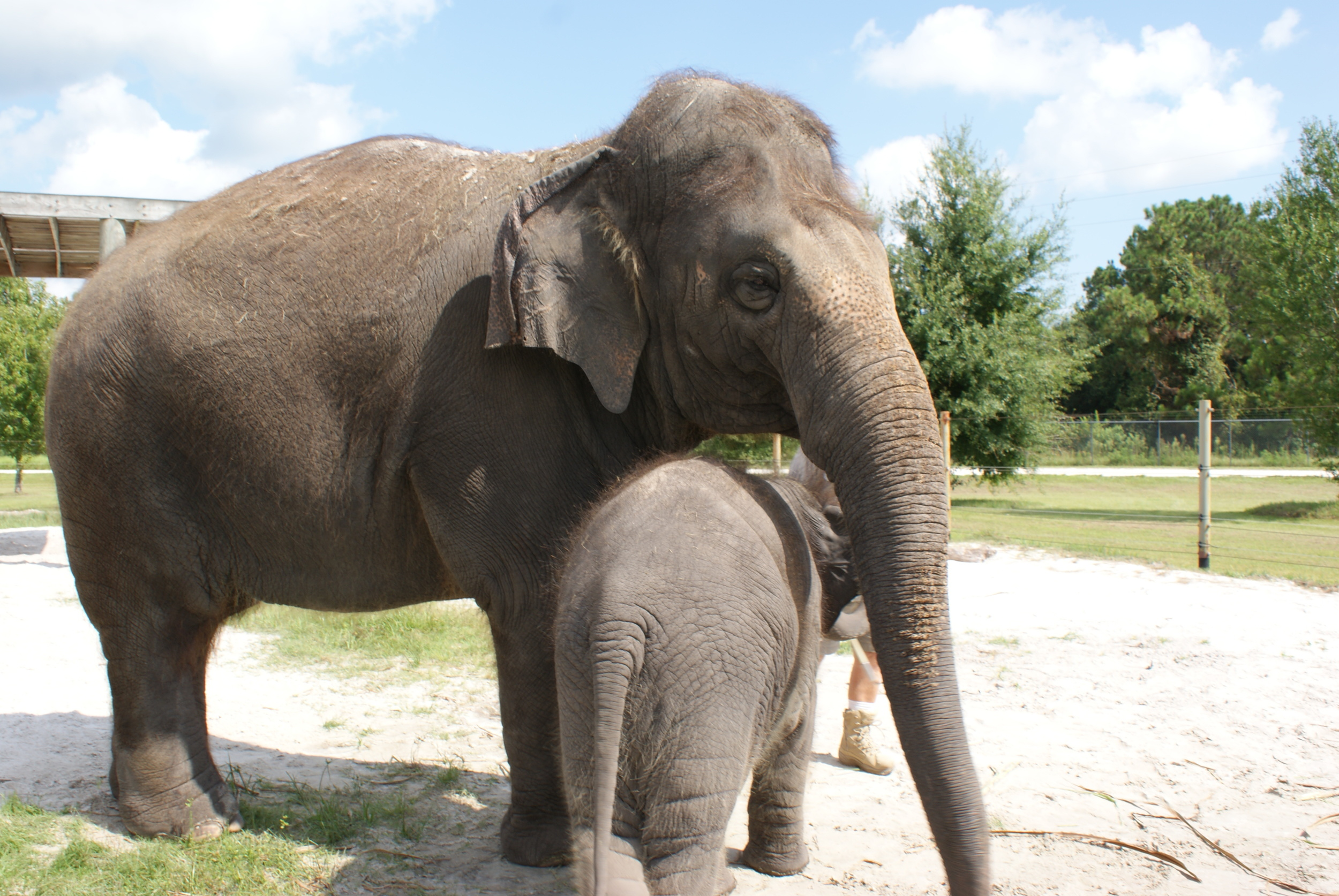 Elephant Conservation Ctr Aug 2014 145.JPG