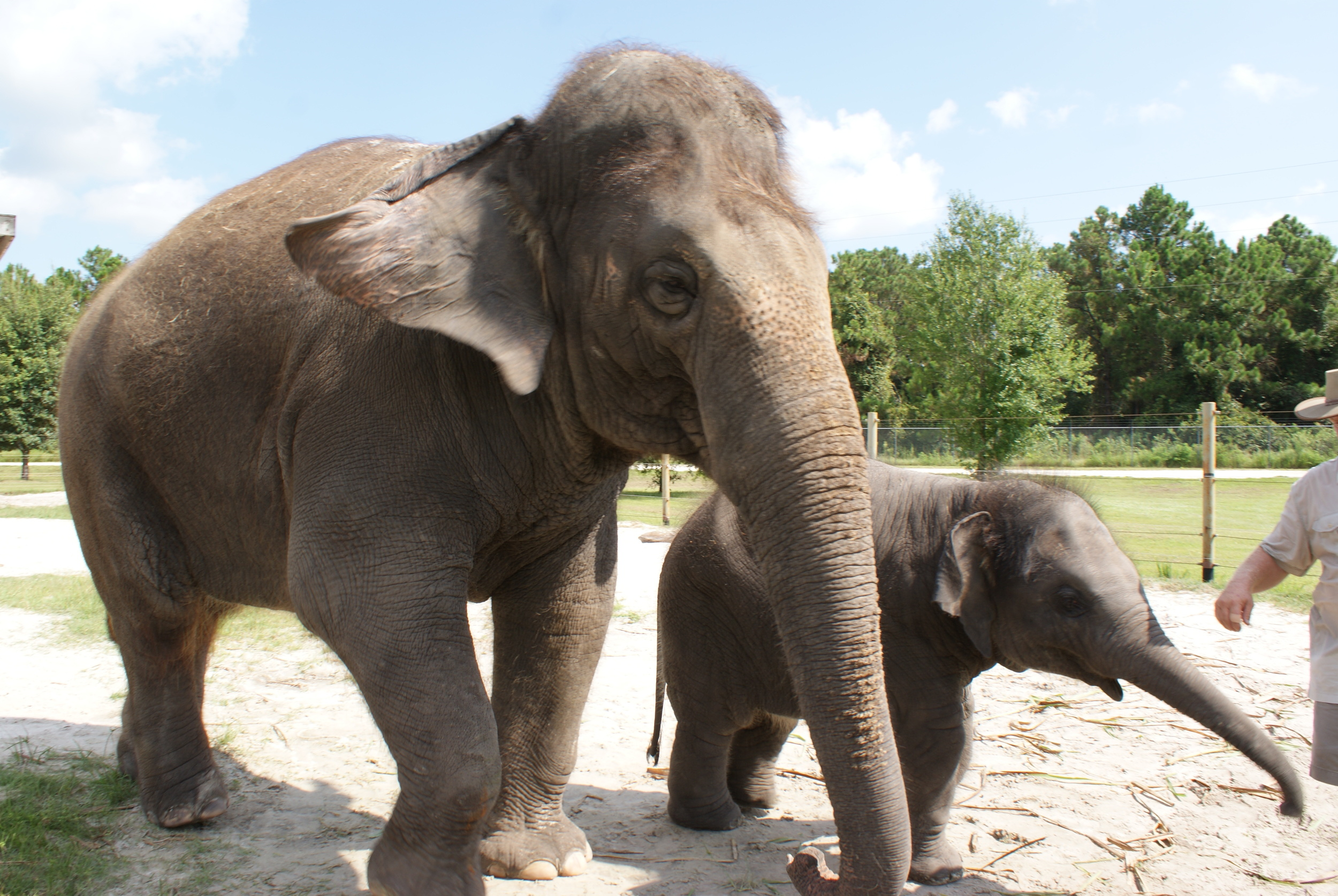 Elephant Conservation Ctr Aug 2014 147.JPG