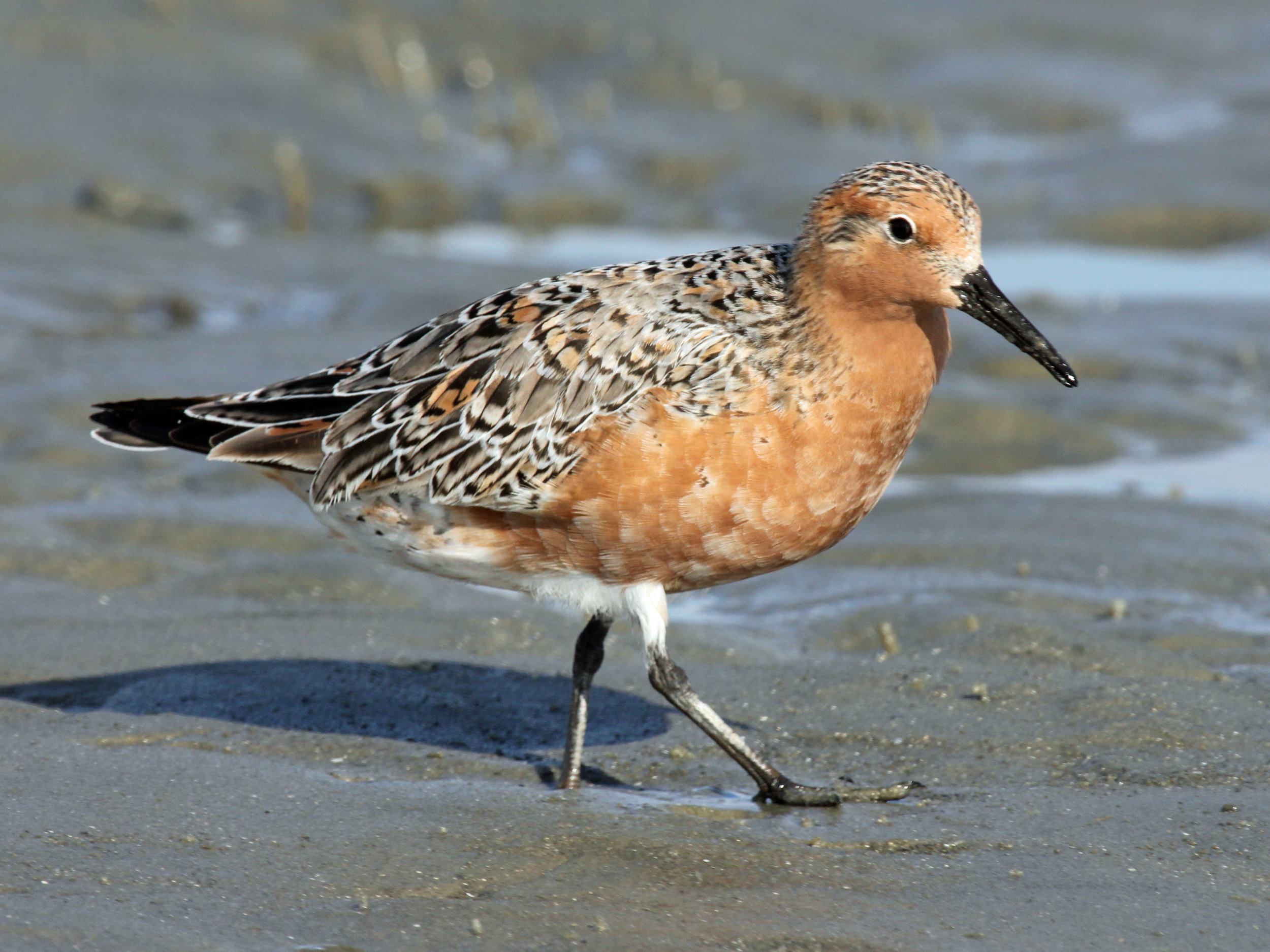 Red_Knot_2012c_RWD.jpg