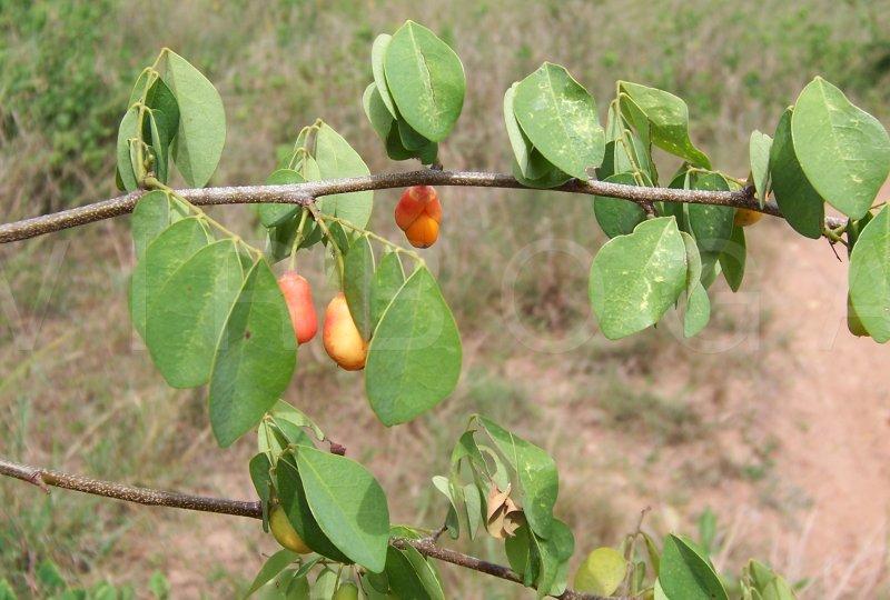 Brysocarpus coccineus.jpg