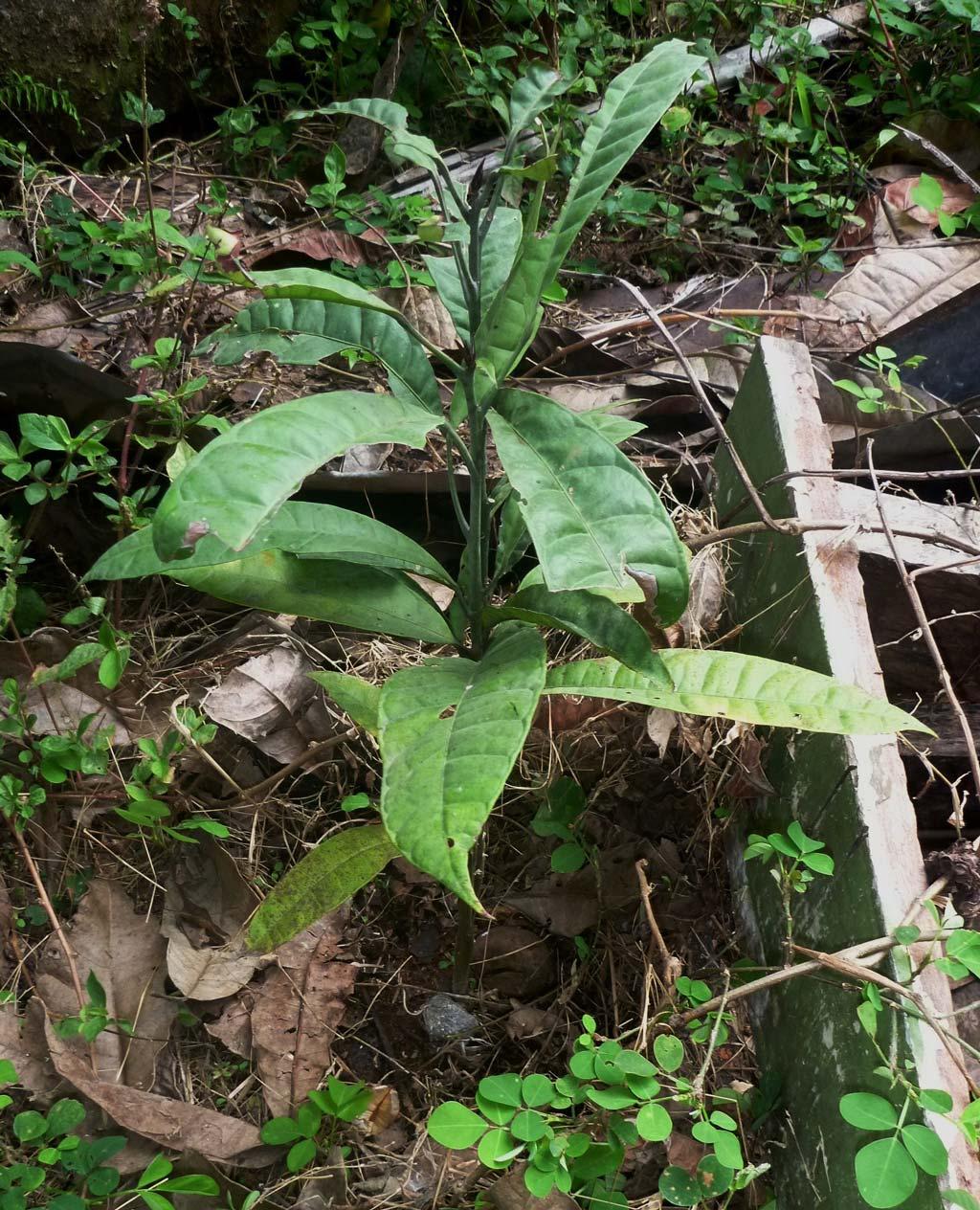 Buchholzia coriacea