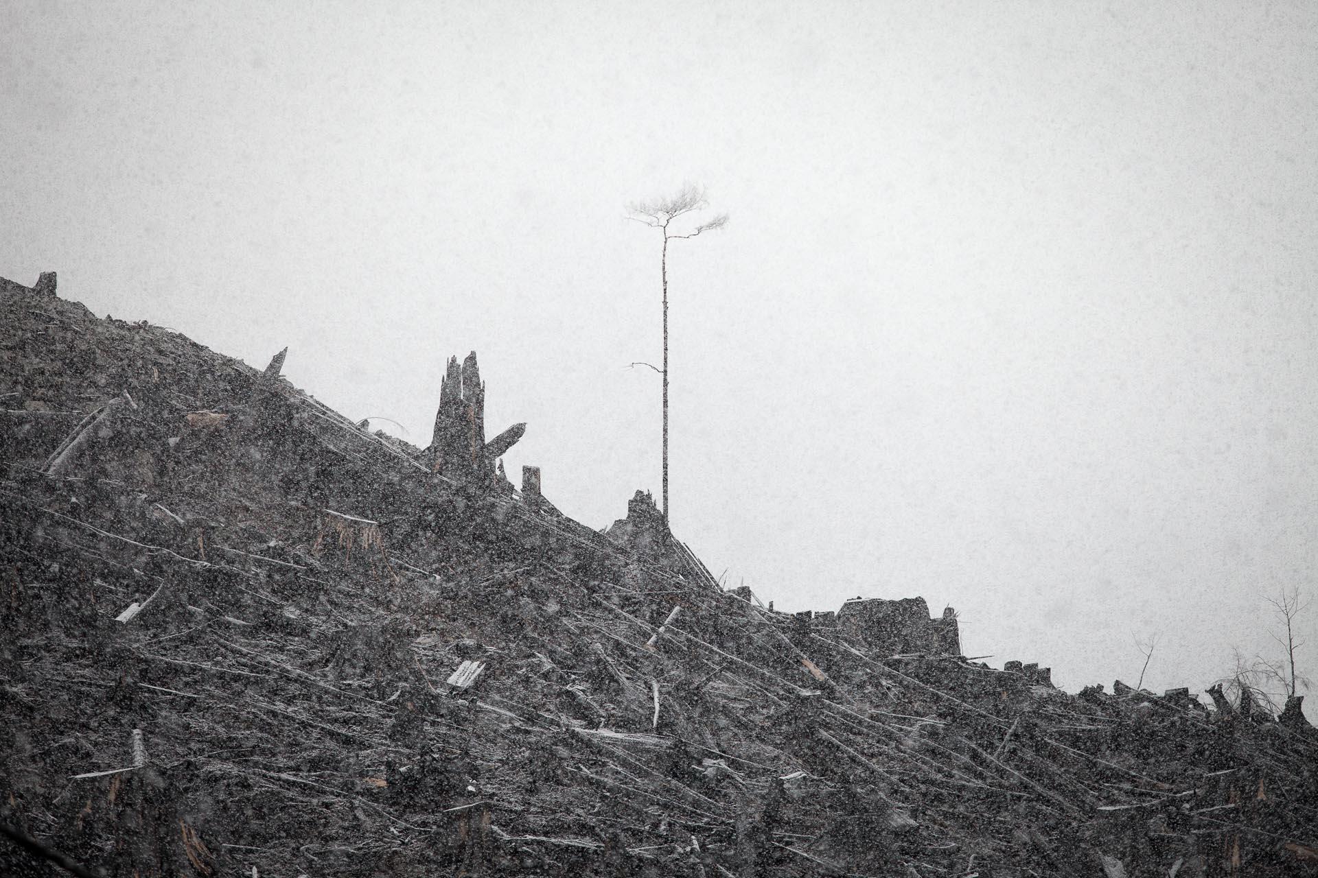 lone-tree-burnt-clearcut-klanawa.jpg