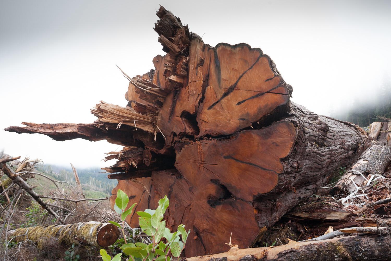 old-growth-red-cedar-logging-klanawa.jpg