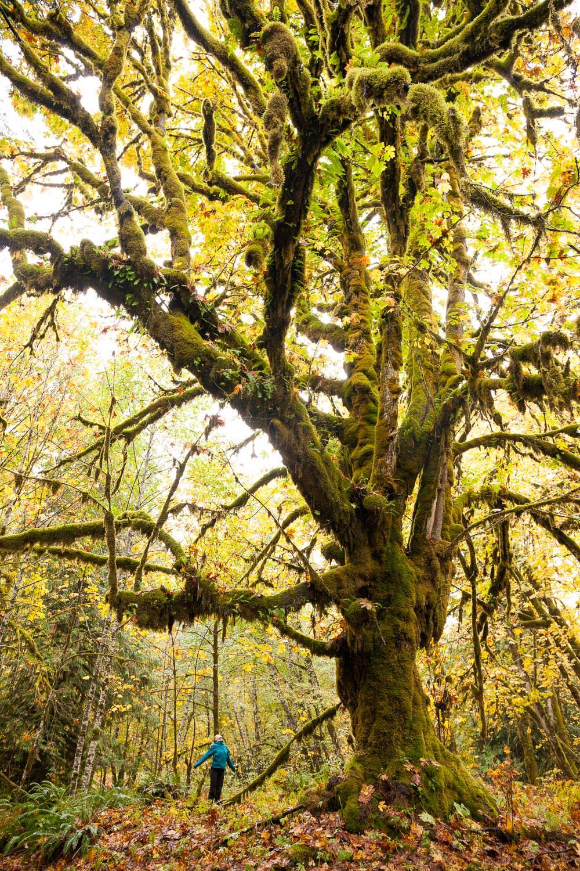 big-leaf-maple-with-person-canada.jpg
