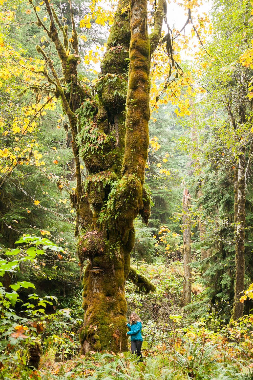 deciduous-old-growth-maple-tree.jpg