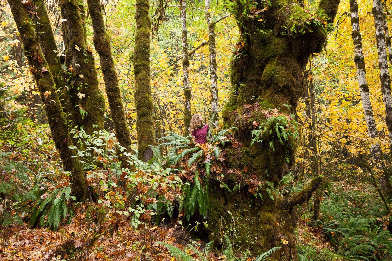 old-growth-big-leaf-maple-tree-fall.jpg