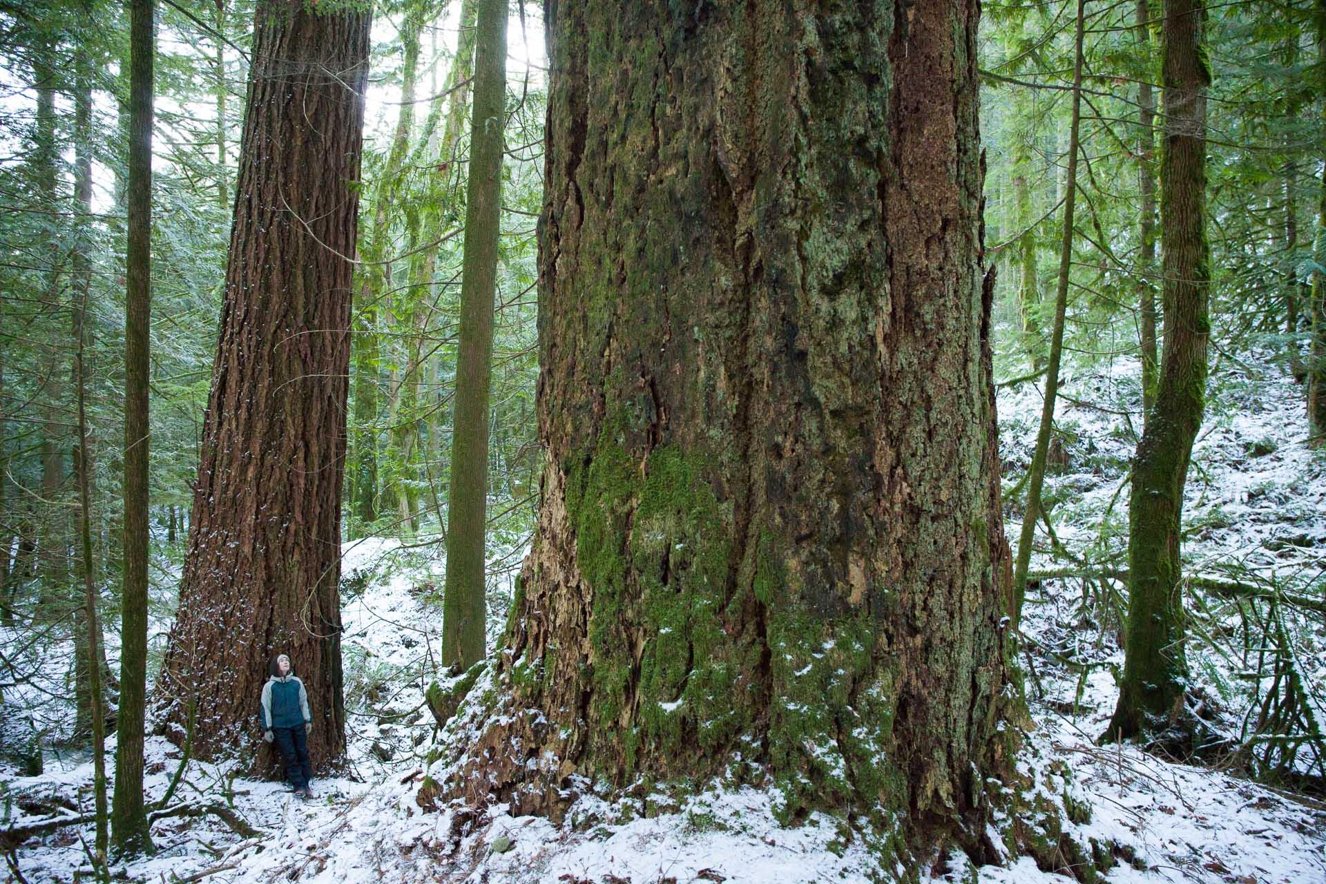 old-growth-douglas-fir-trees-snow.jpg