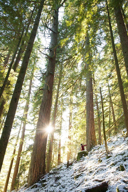 old-growth-douglas-fir-trees-sun.jpg