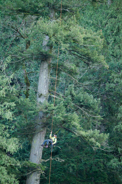 tree-climber-in-old-growth-douglas-fir.jpg