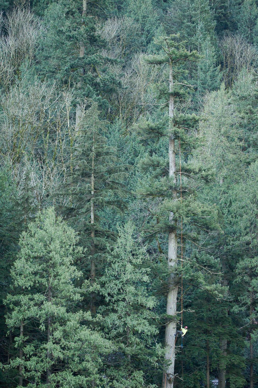 tree-climber-in-tall-tree.jpg