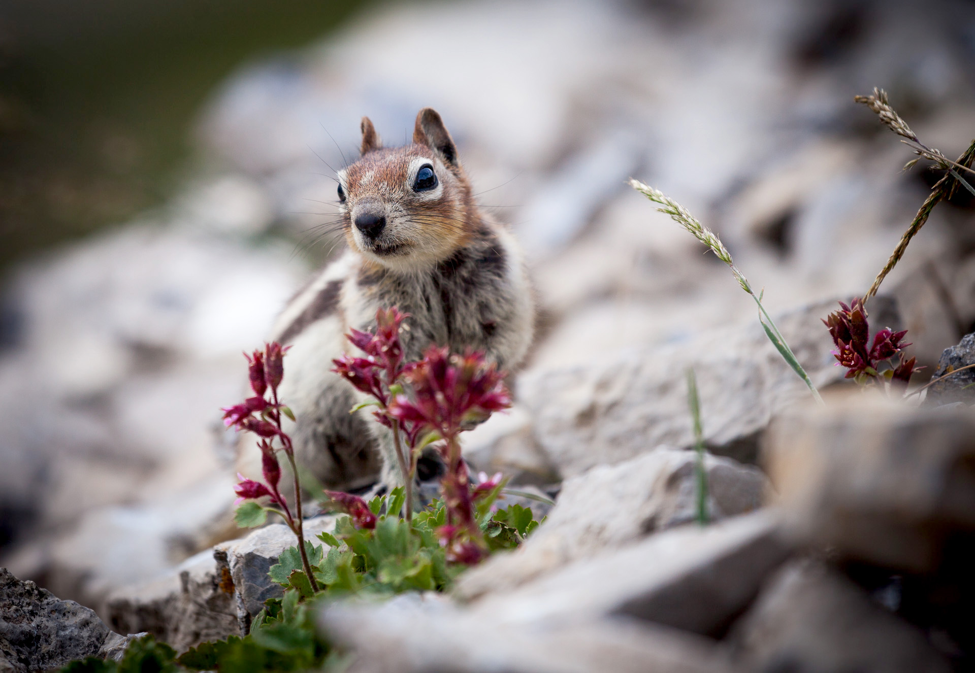 Also from my trip to the Rockies, a golden-mantled ground squirrel curiously approaches during one of our day hikes.