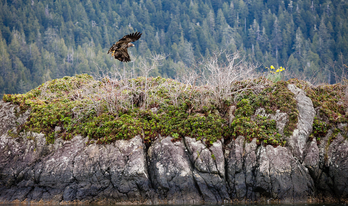 A young bald eagle takes flight near Meares Island in Clayoquot Sound.